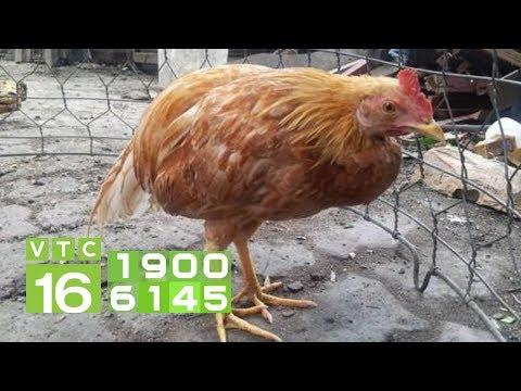 Triệu chứng bệnh ORT ghép E.coli ở gà | VTC16
