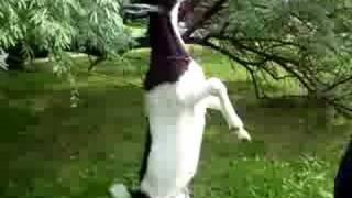 Koza Na Zadních
