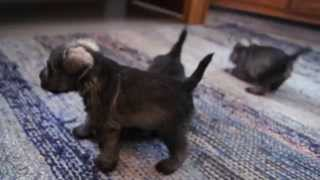 Andalbagat Miniature Schnauzer Puppies 4 Weeks, H-litter, Video 2