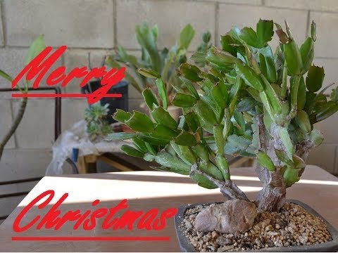 Christmas Cactus Bonsai!!! Just In Time For Christmas!!!