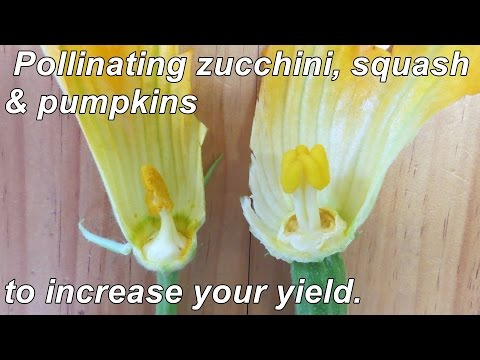 How to Hand Pollinate Zucchini, Squash & Pumpkins to Increase your Yields