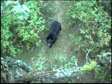 Bear Climbs Tree Stand Youtube
