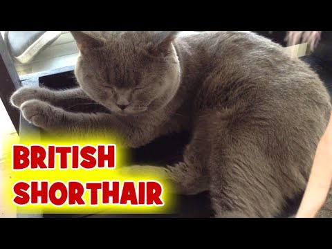 British Shorthair Cat Cafe Manila - Velvet Friends Cat Cafe Philippines