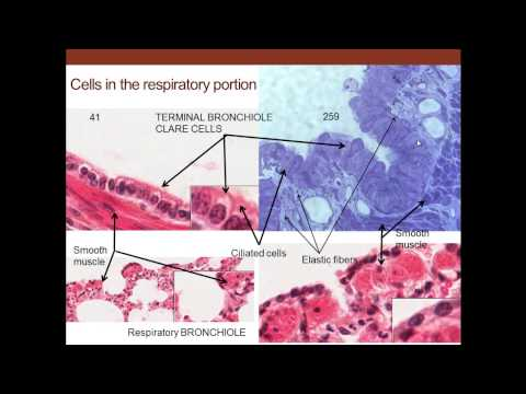 12. Medical School Histology. Respiratory System.