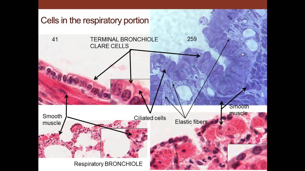 12. Medical School Histology. Respiratory System. - YouTube