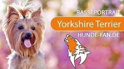 Yorkshire Terrier [2019] Rasse, Aussehen & Charakter