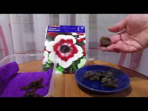 Как садить Анемоны