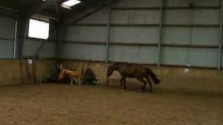 Wynona Ryder - Freispringen, Holsteiner Stute von Locato - Barnaul xx