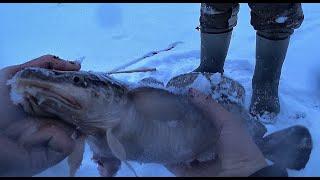 Так ДОБЫВАЮТ РЫБУ МЕСТНЫЕ РЫБАКИ Налим на поставки рыбалка на комбайны первый лед