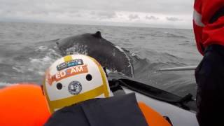 IFAW leads amazing whale disentanglement in Iceland