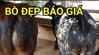 Bò về sáng nay báo giá từng con,0386308995 trại bò La Hai , Phú yên ,bof3b,NÔNG DÂN TV.
