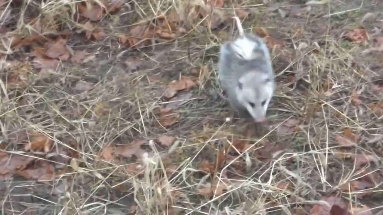 Possum roams the backyard - YouTube