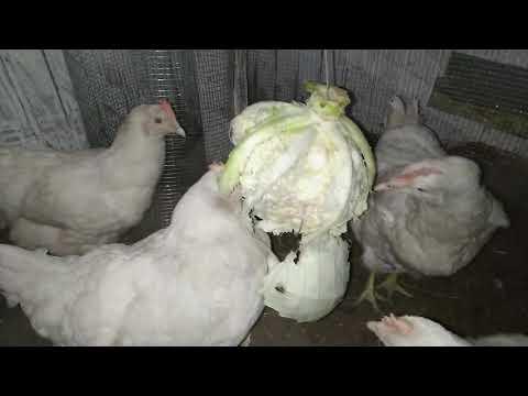Вопрос: Можно ли кормить кур квашеной капустой Почему?