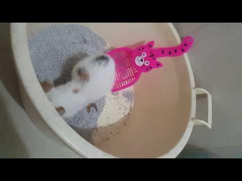 Puela kucing manx kecil sedang buang air besar.. funny cat