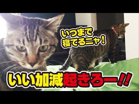 あの手この手で毎朝起こしにくる猫たち!~Cats come to wake me every morning!~