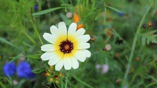 Hoa Cúc Dại