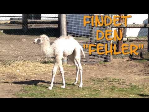 Rui - das kleine Kamel im Zoo Safaripark