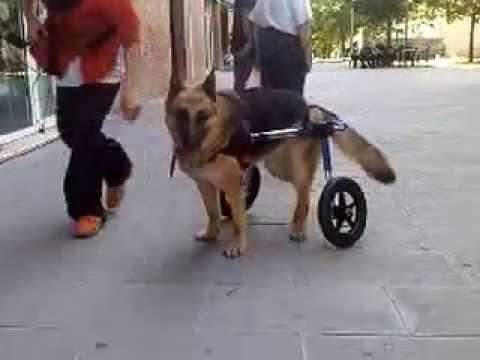 Silla ruedas perro displasia youtube for Sillas para perros