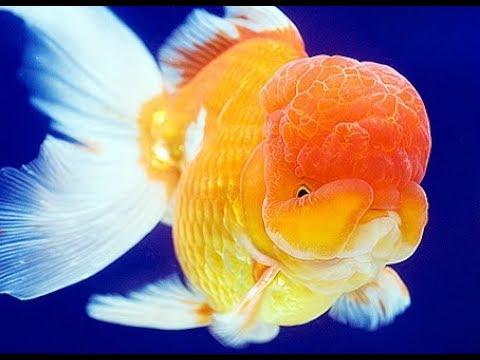 Jenis Jenis Ikan Mas Koki Paling Di Cari Youtube