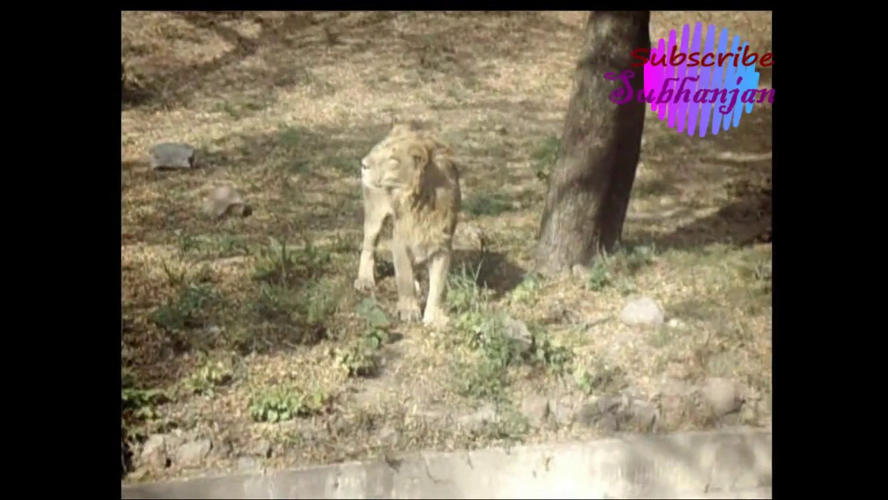Babbar sher || king of jungle || Asian Lion ||lion attack and roar ||  national zoo of delhi ||