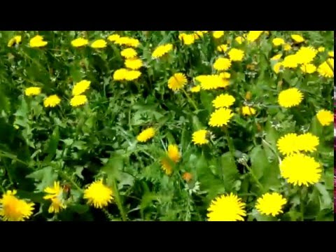 Растение Одуванчик Лекарственные растения - 2017