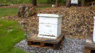 Play flight.  New bees learning how to fly