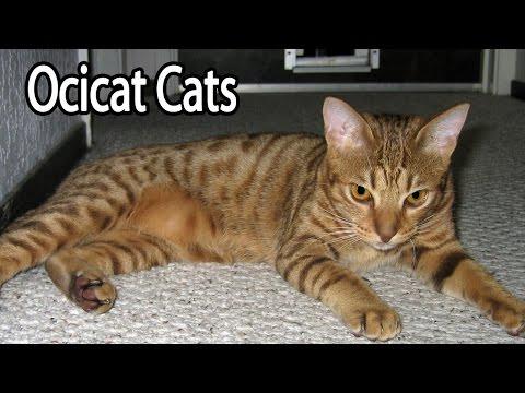 Ocicat Breed