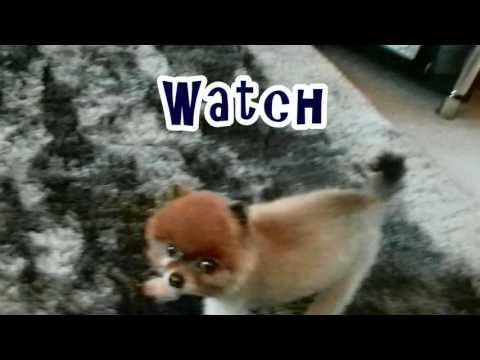 Cill The Pom is the World's Worst Sniifer Dog (2)