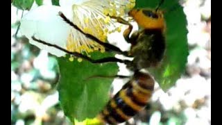 Japanese Giant Hornet In  a Tea Plantation 茶畑のオオスズメバチ