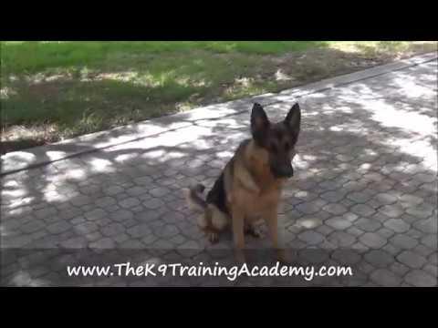Duke - Service/Companion Dog - The K9 Training Academy