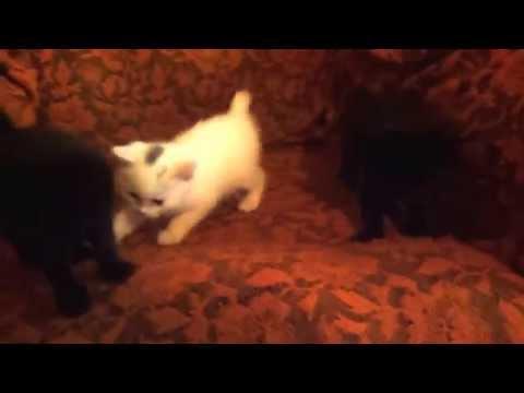 Котята-мышеловы бесплатно даром в Дегтярске и Ревде в хорошие руки.