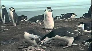 27 1974 Кусто в Антарктике  Часть II  Полет пингвинов - Подводная одиссея команды Кусто