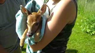 Baby deer without a mommy going to animal rescue