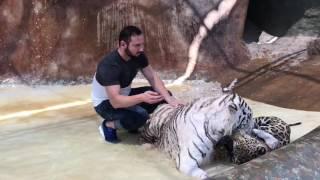 El Tigre Y El Jaguar Así Me Recibieron 🐅🐆