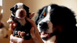 WE HAVE PUPPIES!!! Meet our 8 perfect Bernese Mountain Dog Puppies!  || Ep. 14