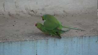 Rose ringed Parakeets mating