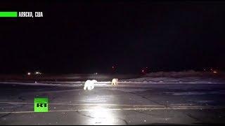 На Аляске белые медведи пробрались на территорию аэропорта