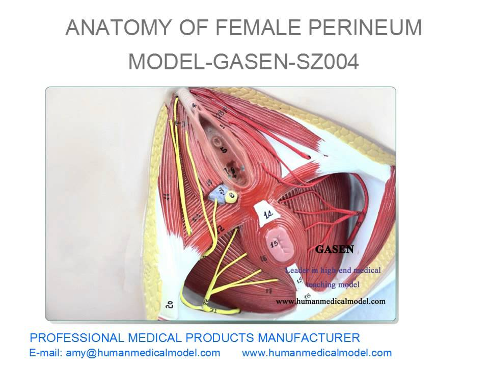 Reproductive Organ Model Anatomy Specimen Of Female Women Perineum