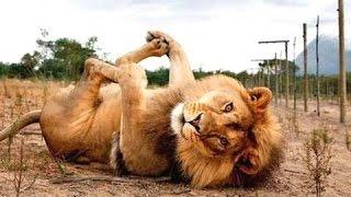 Juokingi gyvūnai - juokingas gyvūnų įrašai. kompiliacija