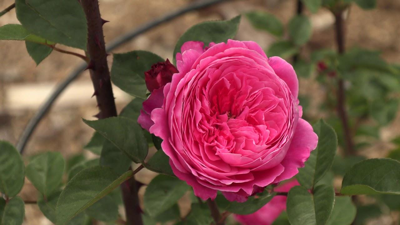 роза академия, питомник роз полины козловой rozarium.biz , rose varieties Academy