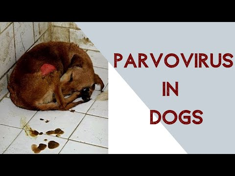 Parvo Virus In Dogs
