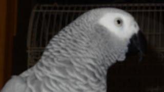 Grey Congo Talking Bird Imitates Cop Car Siren & UPS Van African Grey Parrot