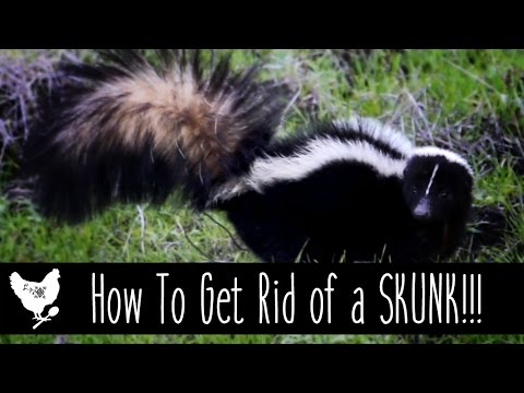 Get Rid Of Skunks Naturally