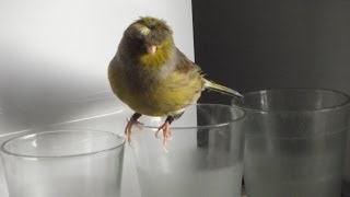 Canary singing at the microwave. Best training video. جزر الخالدات الغناء Śpiew Kanarka