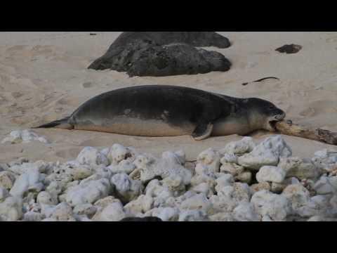 """Hawaiian Monk Seal - Kainalu and his """"toys"""""""