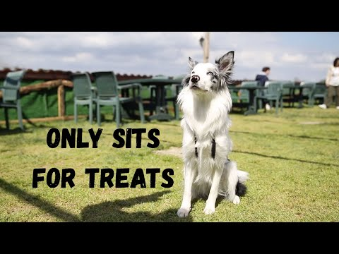 Dog Only Sits for TREAT - Robert Cabral Dog Training Video