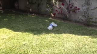 Obi The Maltese- Birthday Zoomies