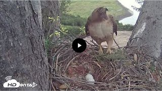 2017 - Last Season San Diego Red Tailed Hawk - Watch the second egg laid in nest!