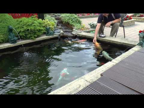 Koi Feeding ...and Update on the Baby`s