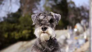 Salt-and-Pepper Miniature Schnauzer 3 years old.